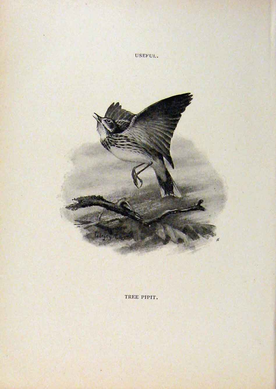 Print Birds Useful And Harmful Tree Pi[Pit By Csorgey C1909 498291 Old Original