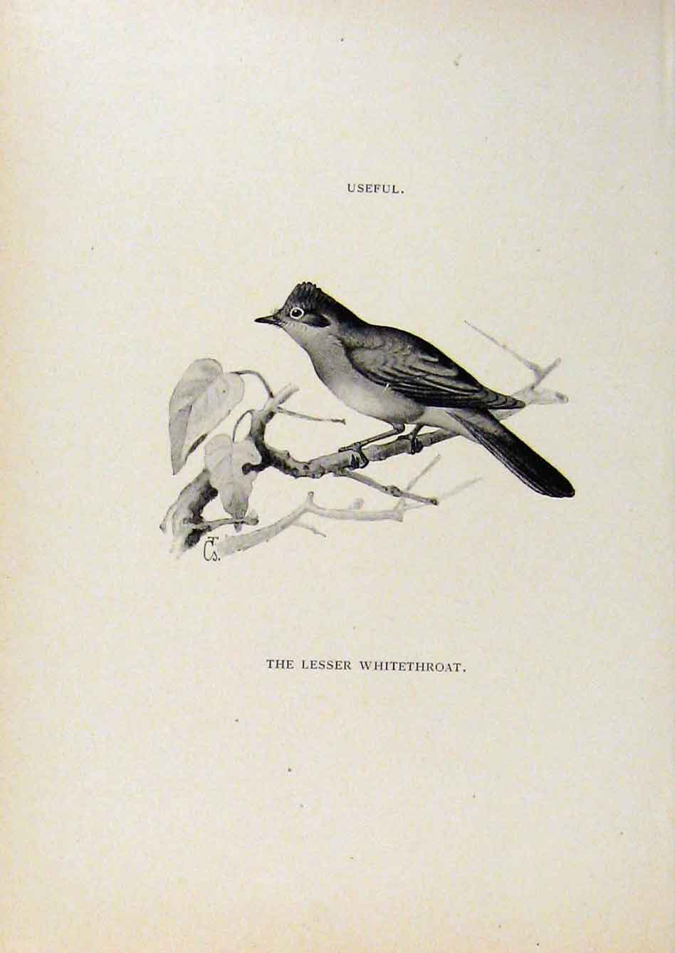 Print Birds Useful And Harmful Lesser Whitethroat C1909 558291 Old Original