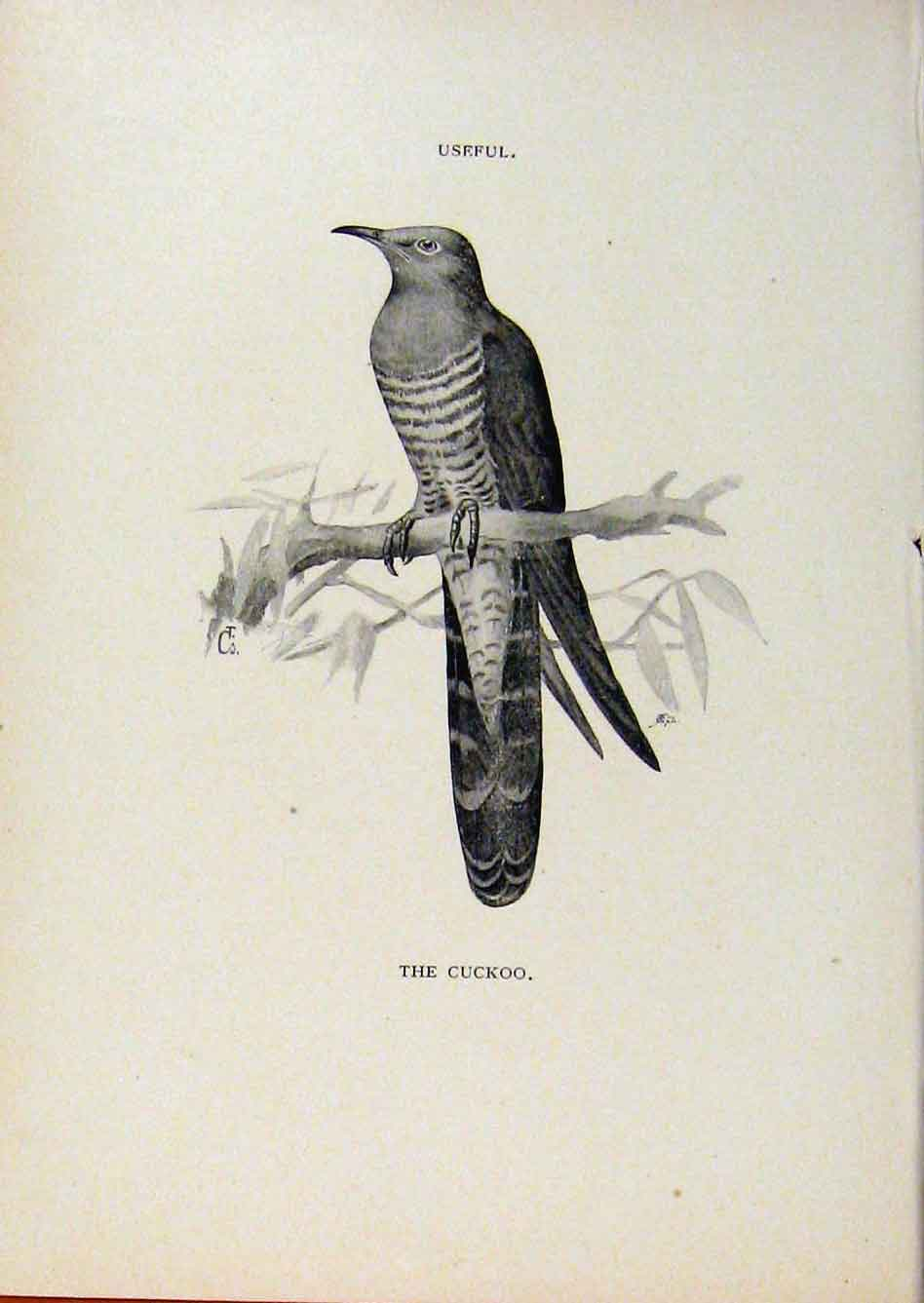Print Birds Useful And Harmful Cuckoo C1909 By Csorgey 608291 Old Original