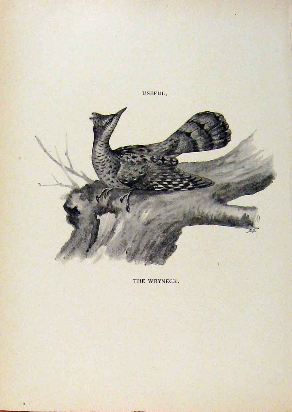 Print Birds Useful And Harmful Wryneck By Csorgey C1909 618291 Old Original