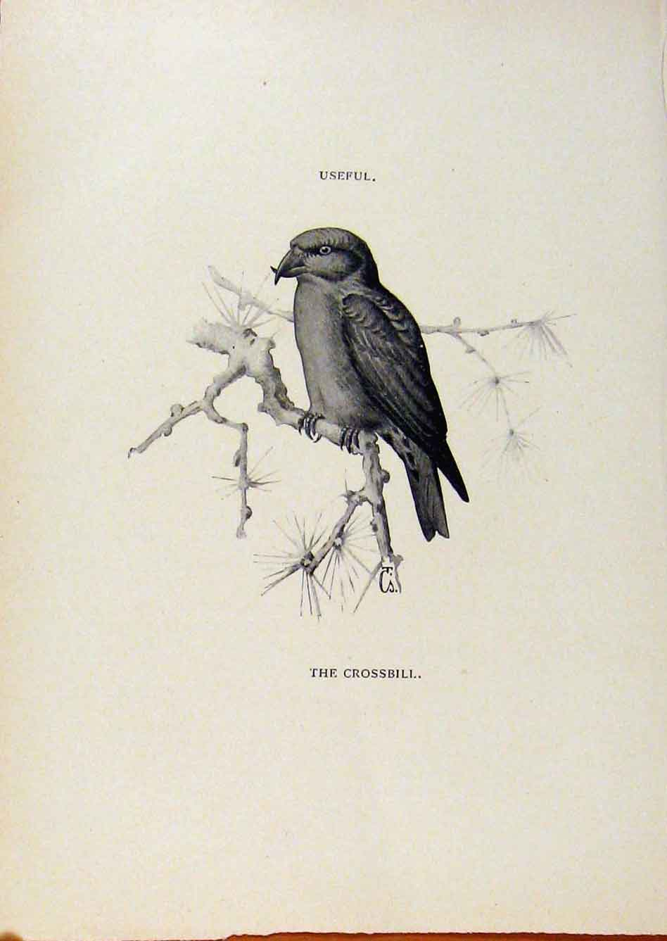 Print Birds Useful And Harmful Crossbill By Csorgey C1909 628291 Old Original
