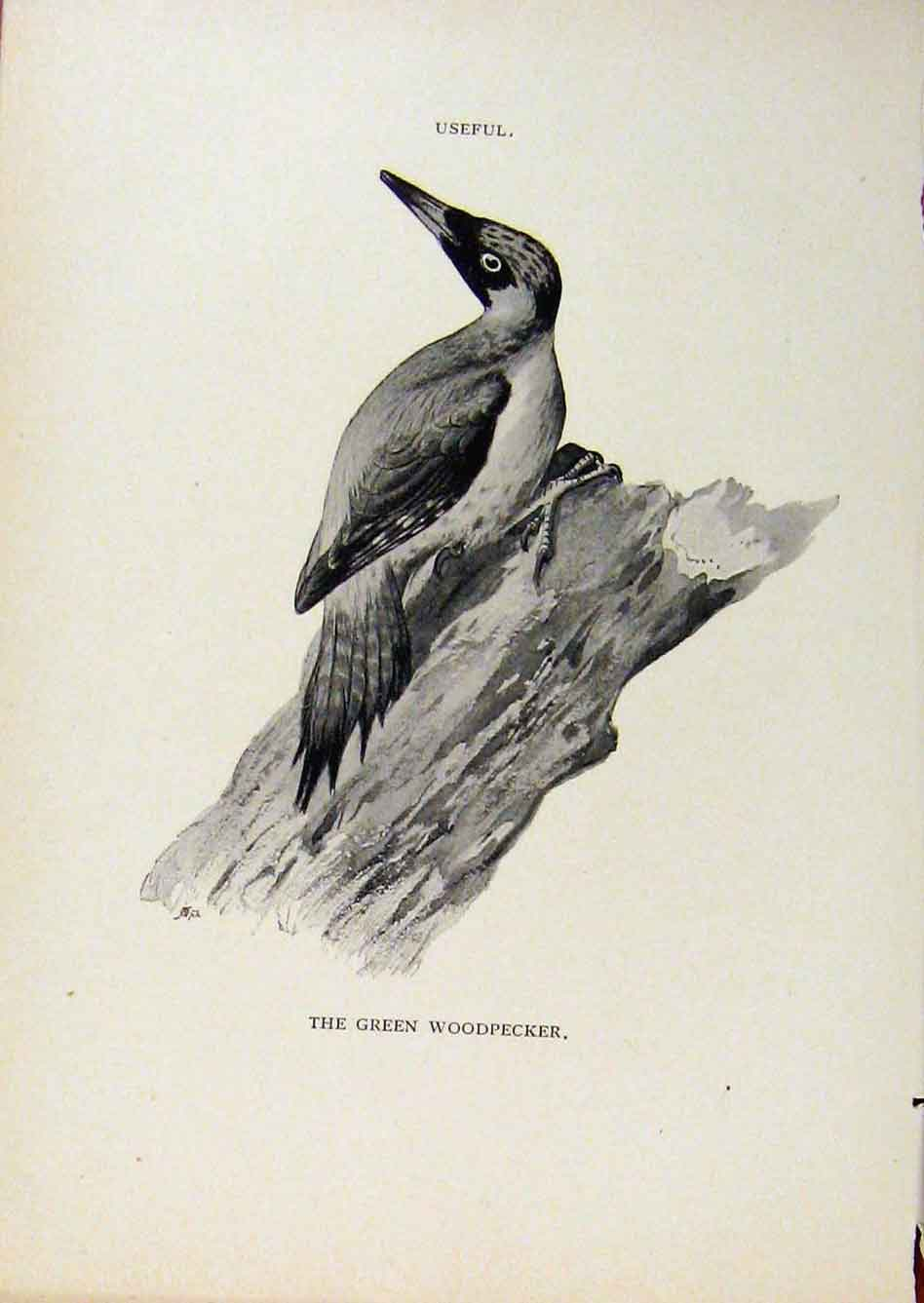 Print Birds Useful And Harmful Green Woodpecker By Csorgey 658291 Old Original