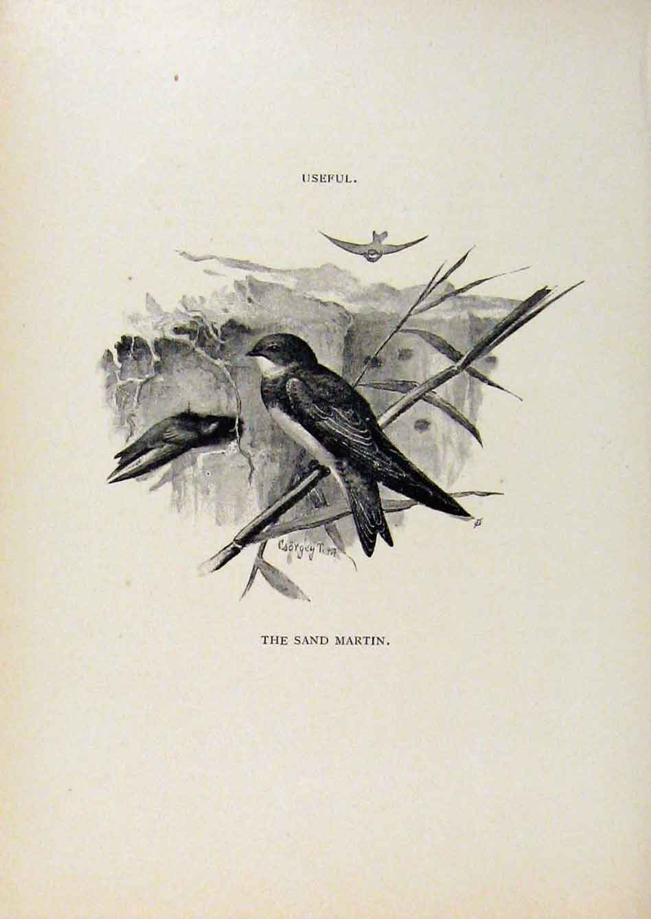 Print Birds Useful And Harmful Sand Martin C1909 By Csorgey 688291 Old Original
