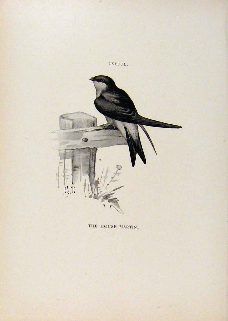 Print Birds Useful And Harmful House Martin By Csorgey C1909 698291 Old Original