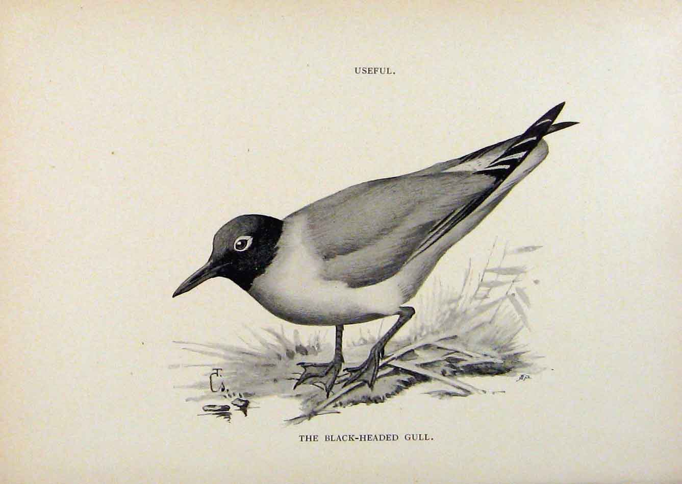 Print Birds Useful And Harmful Black Headed Gull By Csorgey 748291 Old Original