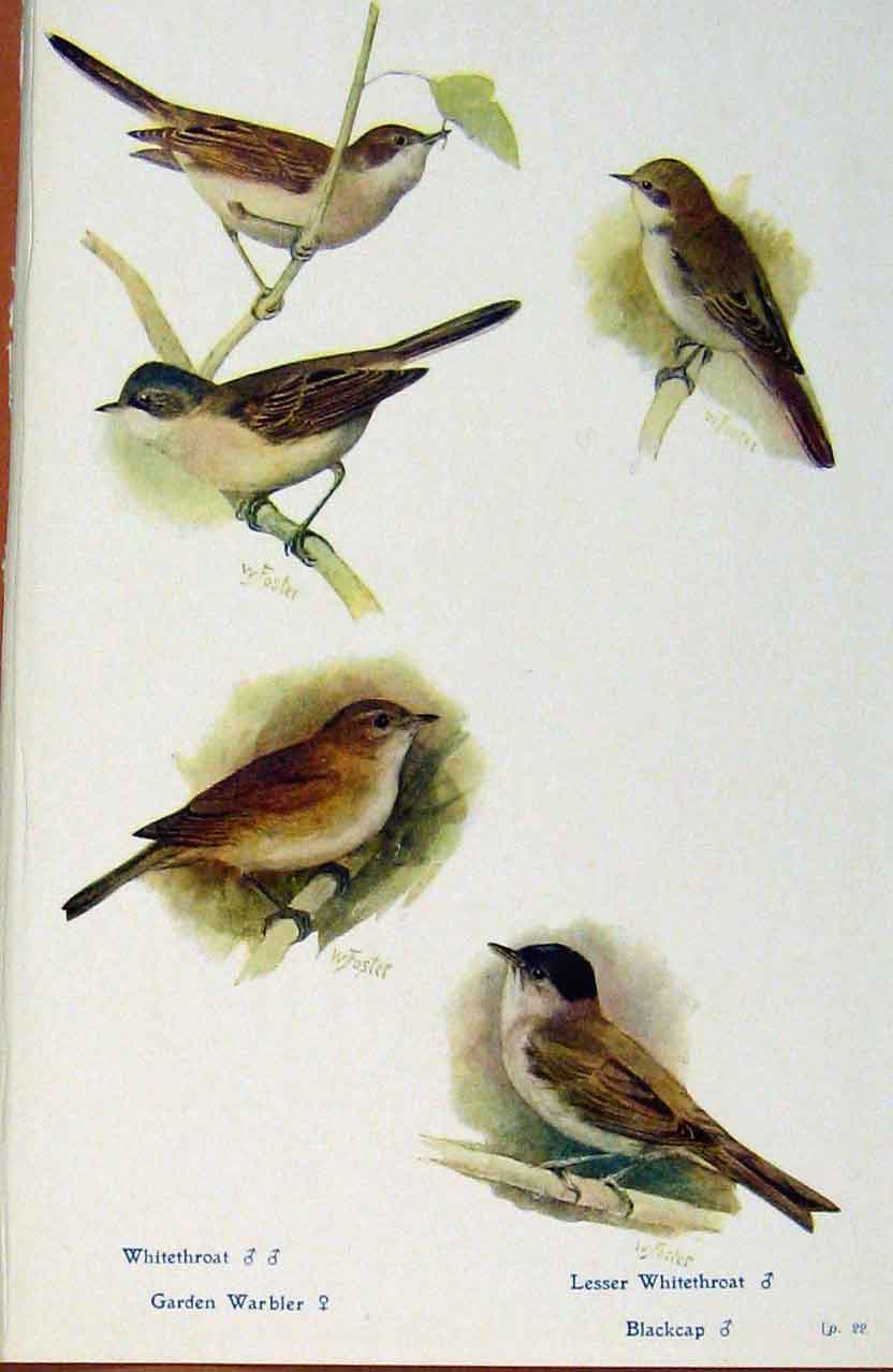 Print British Birds By W Foster Whitetroat Warbler Blackcap 078321 Old Original