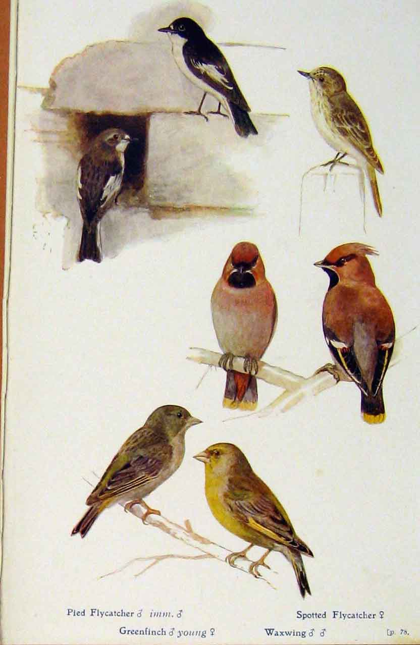 Print British Birds By W Foster Oied Flycatcher Waxwing 178321 Old Original