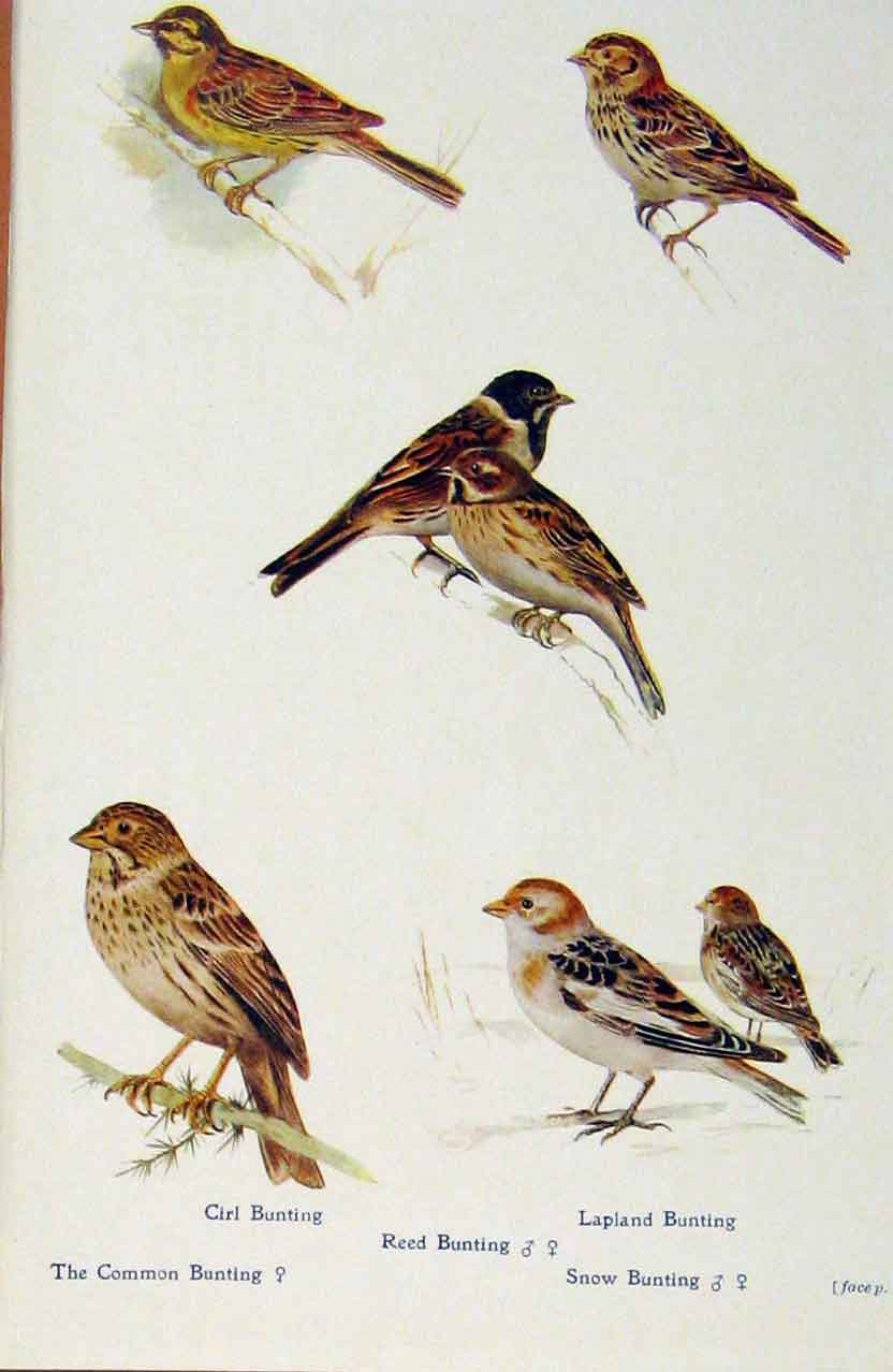 Print British Birds By W Foster Cirl Reed Lapland Bunting 218321 Old Original