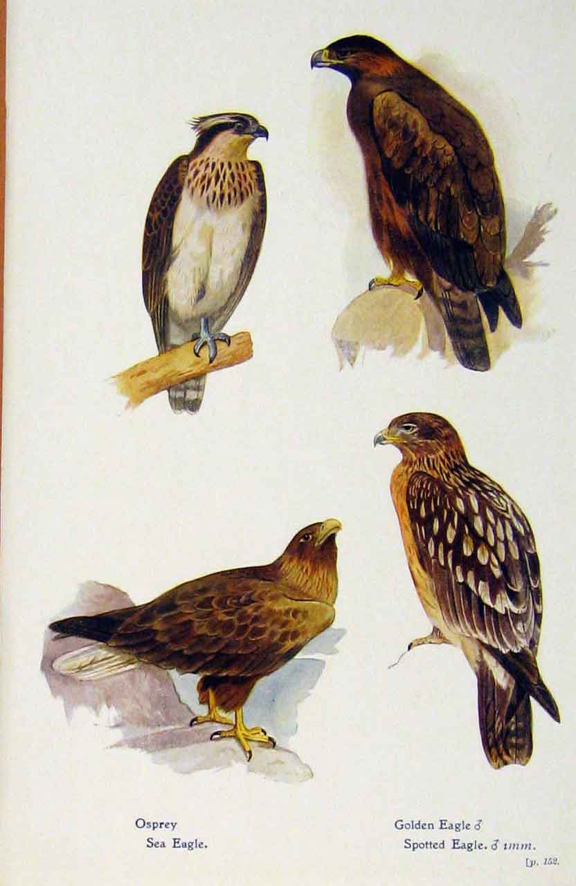 Print British Birds By W Foster Osprey Golden Eagle 318321 Old Original