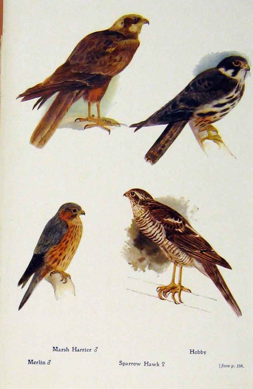Print British Birds By W Foster Marsh Harrier Hobby Merlin 328321 Old Original