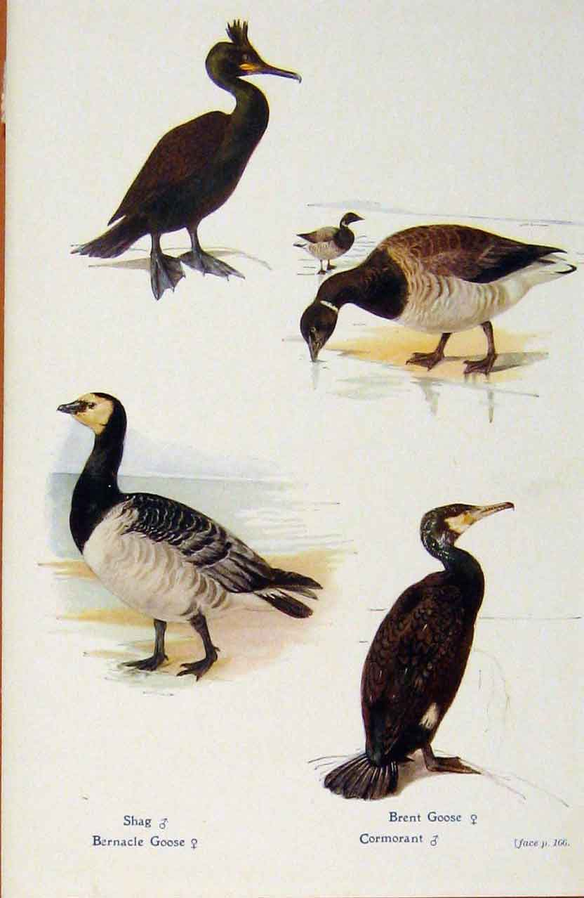 Print British Birds By W Foster Shag Bernacle Goose Brent 338321 Old Original