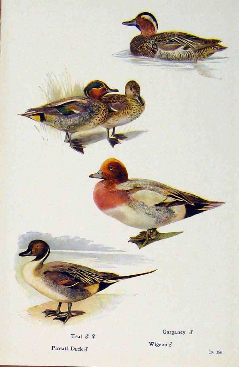 Print British Birds By W Foster Pintil Duck Garaney Wigeon 378321 Old Original