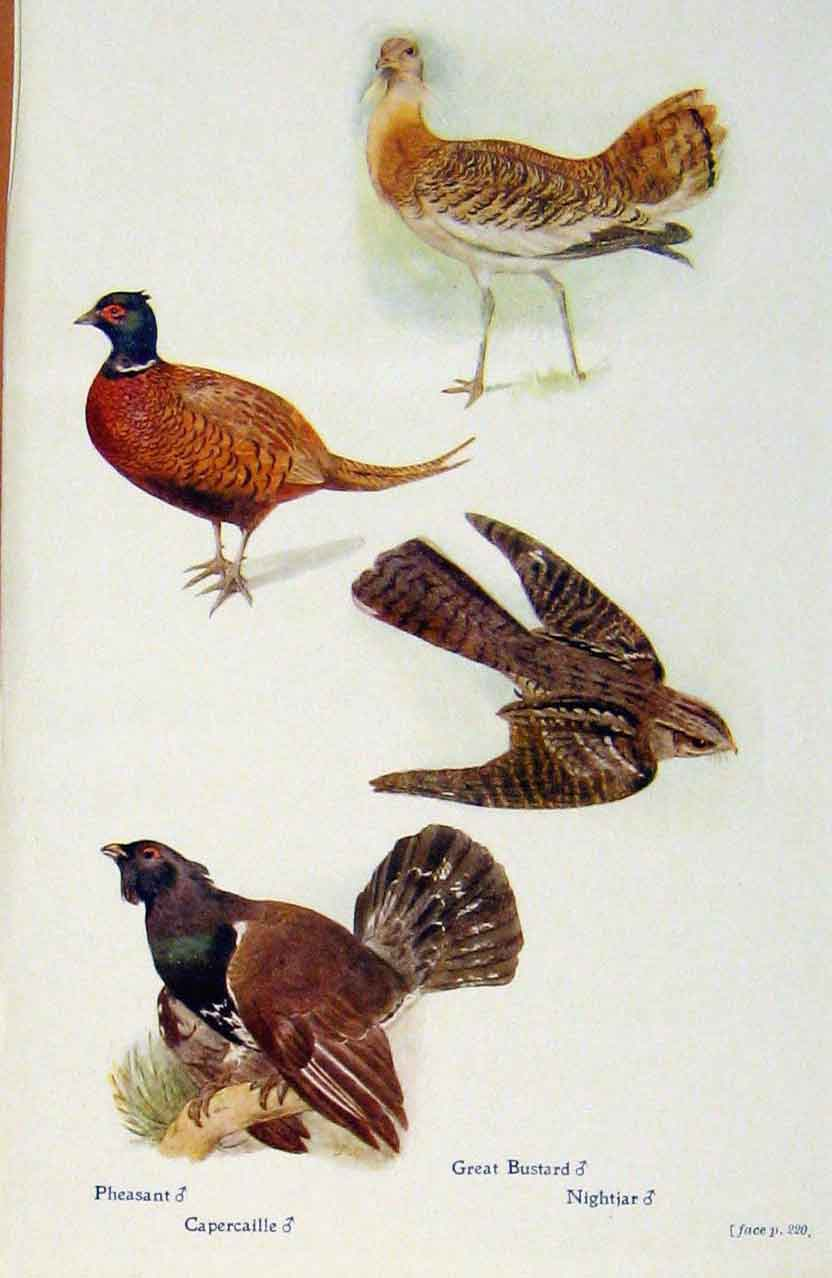 Print British Birds By W Foster Phesant Capercaille Bustard 438321 Old Original