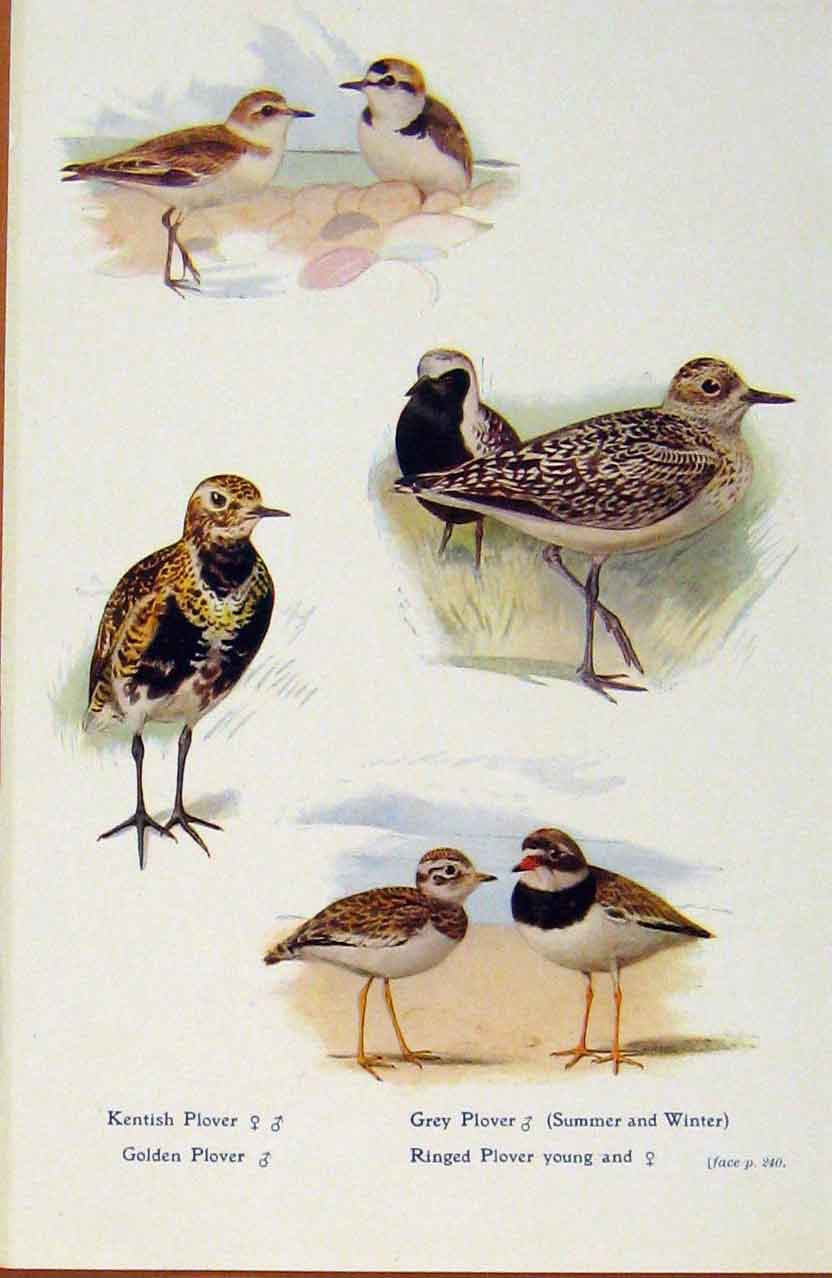 Print British Birds By W Foster Plover Young Male Female Prin 478321 Old Original