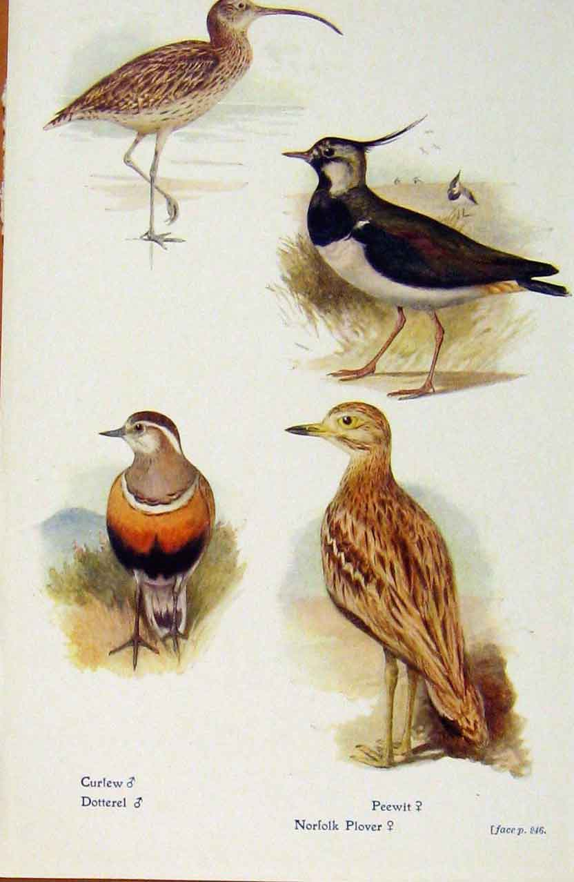 Print British Birds By W Foster Curlew Dotterel Peewit Plover 488321 Old Original