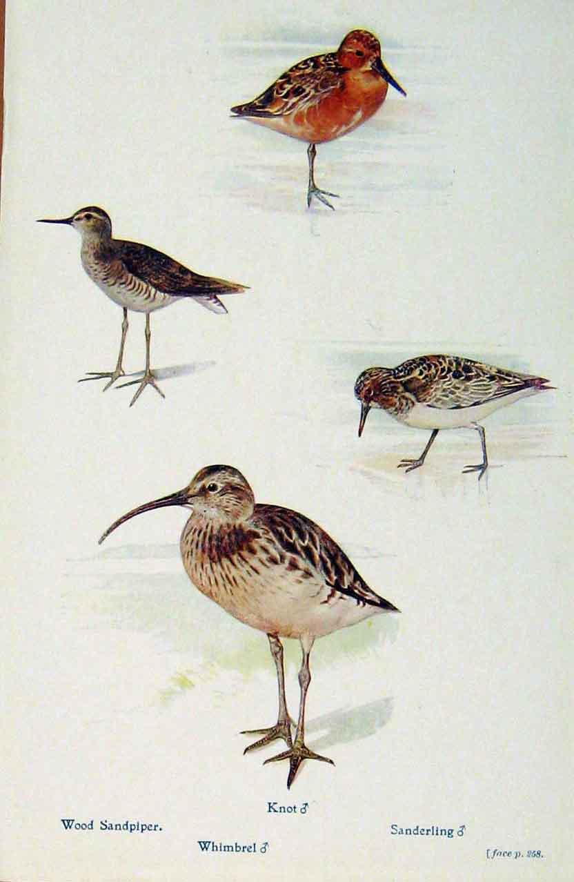 Print British Birds By W Foster Wood Sandpiper Whimbrel Knot 518321 Old Original