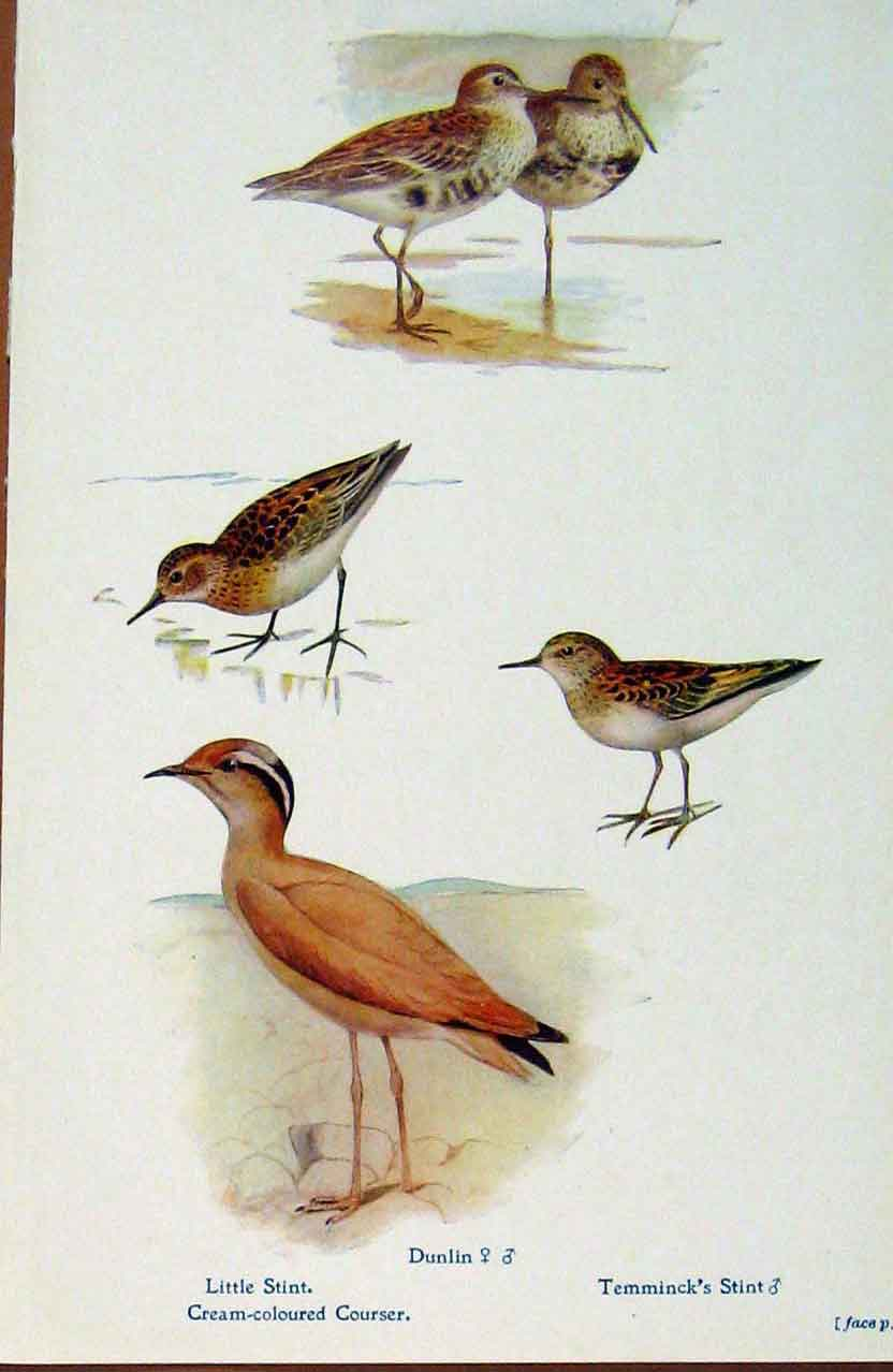Print British Birds By W Foster Littl Stint Dunlin Courser 528321 Old Original