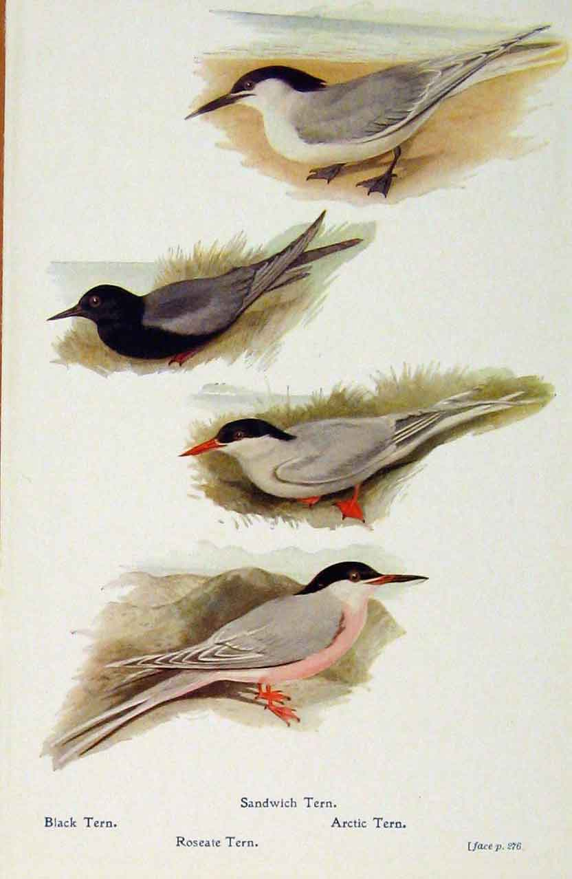 Print British Birds By W Foster Sandwich Tern Black Arctic 558321 Old Original