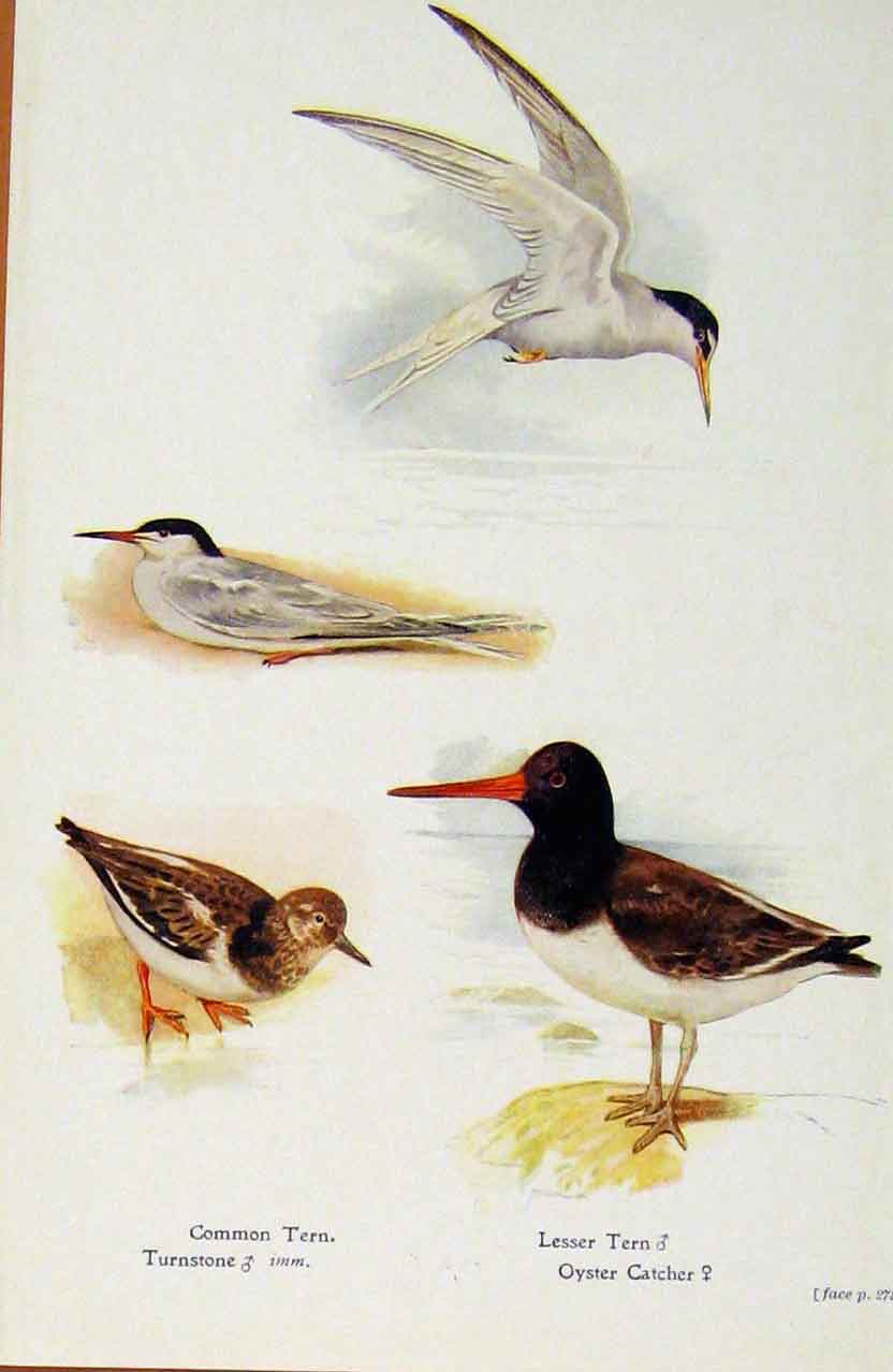 Print British Birds By W Foster Common Tern Turnstone Oyster 568321 Old Original