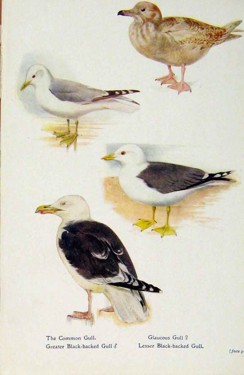 Print British Birds By W Foster Common Gull Glaucous C1910 578321 Old Original