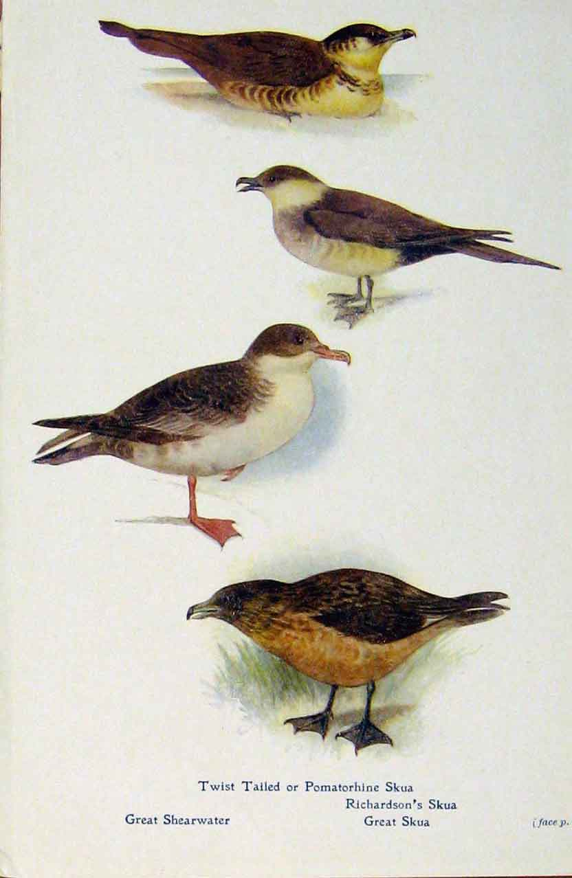 Print British Birds By W Foster Skua Shearwater 598321 Old Original