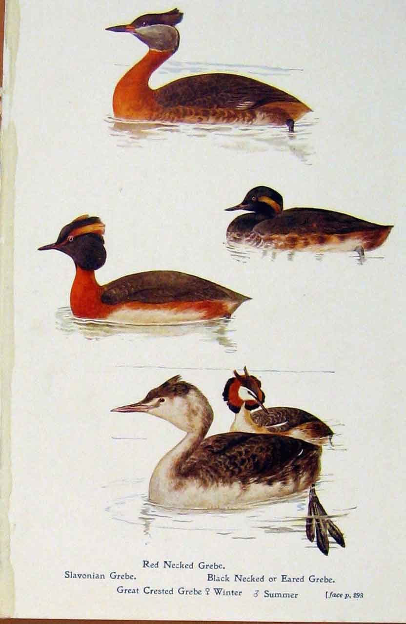 Print British Birds By W Foster Grebe Red Necked Crested Summ 628321 Old Original