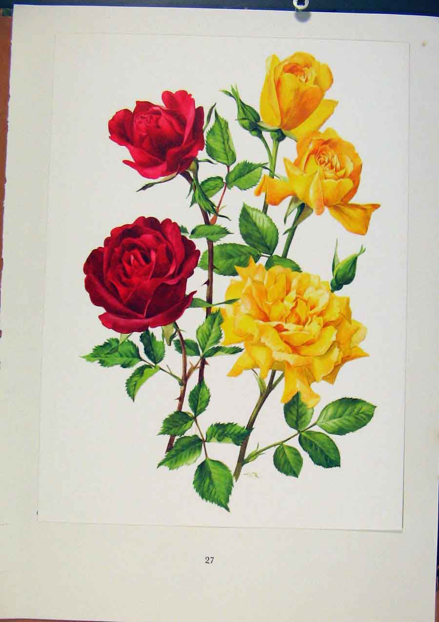 Print Etoile De Hollande Mcgredys Sunset Rose 1962 108331 Old Original