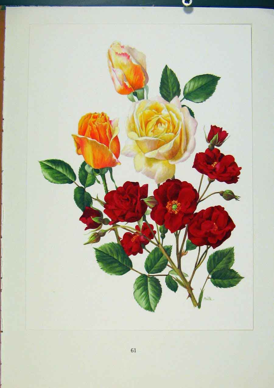 Print Plate 27 Pilar Landecho Red Favourite Roses 1962 278331 Old Original