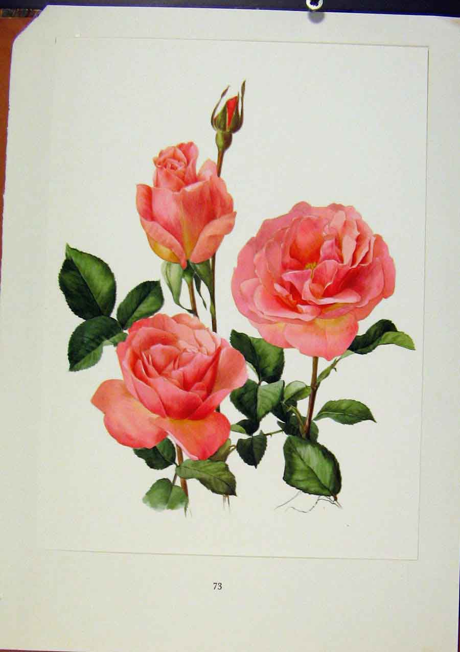 Print Plate 33 Tiffany Roses C1962 Bois & Trechslin 338331 Old Original