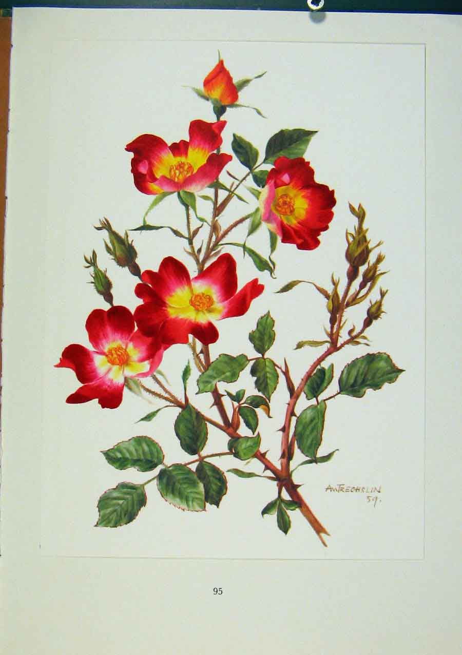 Print Plate 44 Cocktail Roses Bois & Trechslin 1962 448331 Old Original