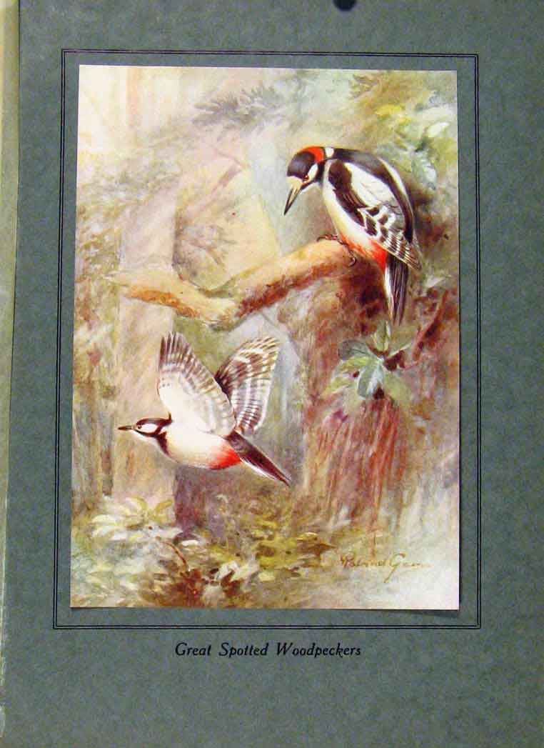 Print Birds In Flight C1922 Great Spotted Woodpeckers Color 038351 Old Original