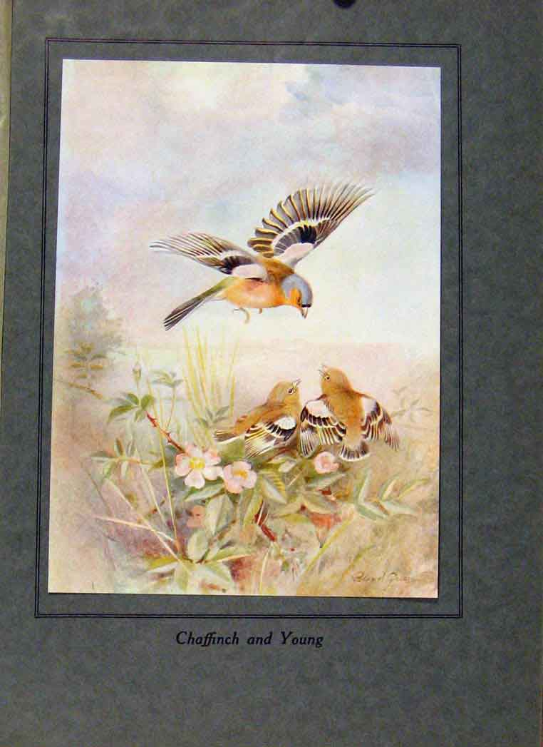 Print Birds In Flight C1922 Chaffinch And Young 058351 Old Original