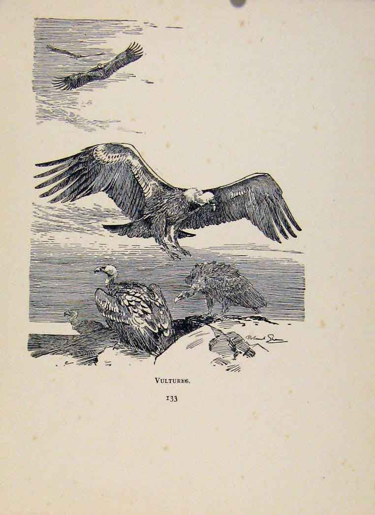 Print Birds In Flight C1922 Vultures By Green 138351 Old Original