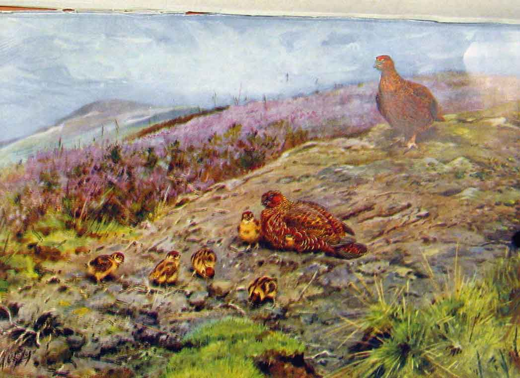 Print Memoirs An Artist Naturalist Grouse Family Chicks 058361 Old Original