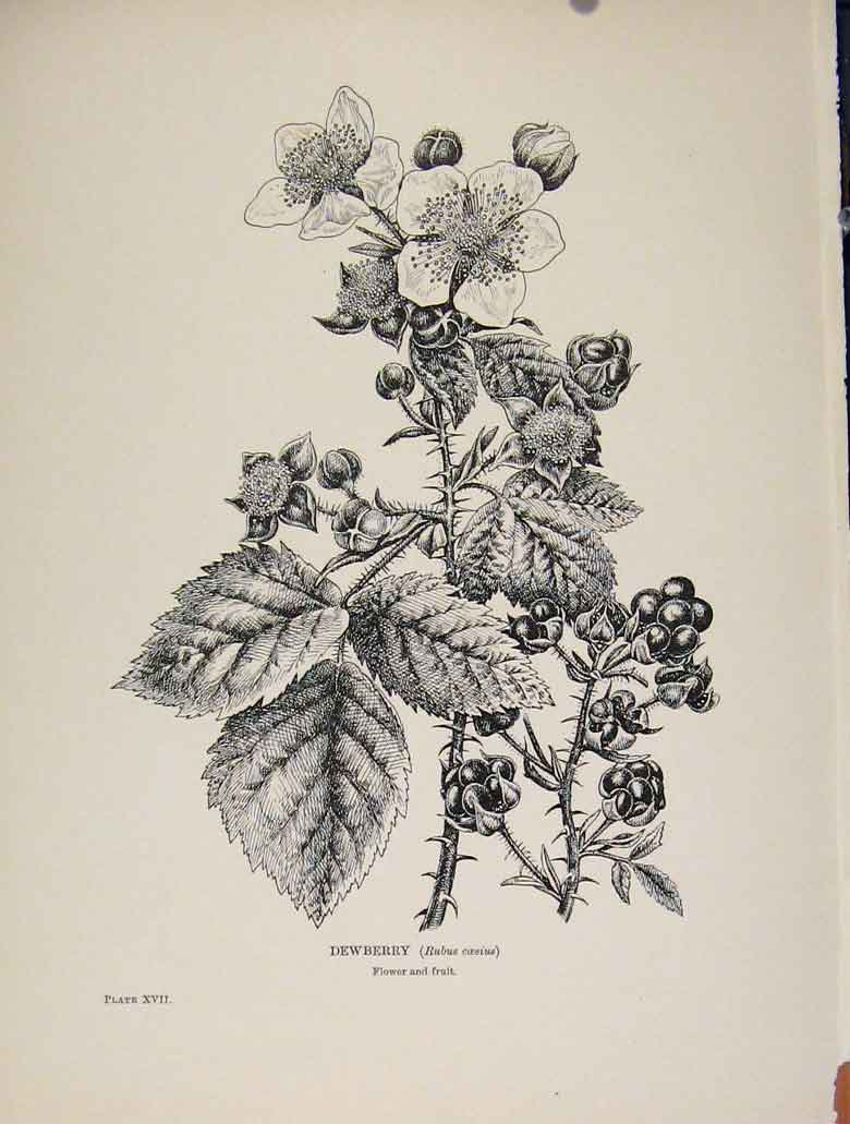 Print C1909 Trees And Shrubs Dewberry Fruit 028571 Old Original