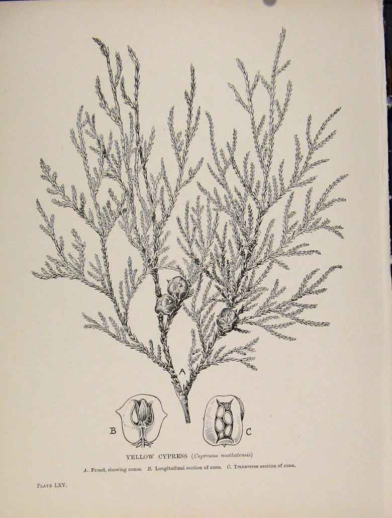 Print Yellow Cypress Trees And Shrubs C1909 248571 Old Original