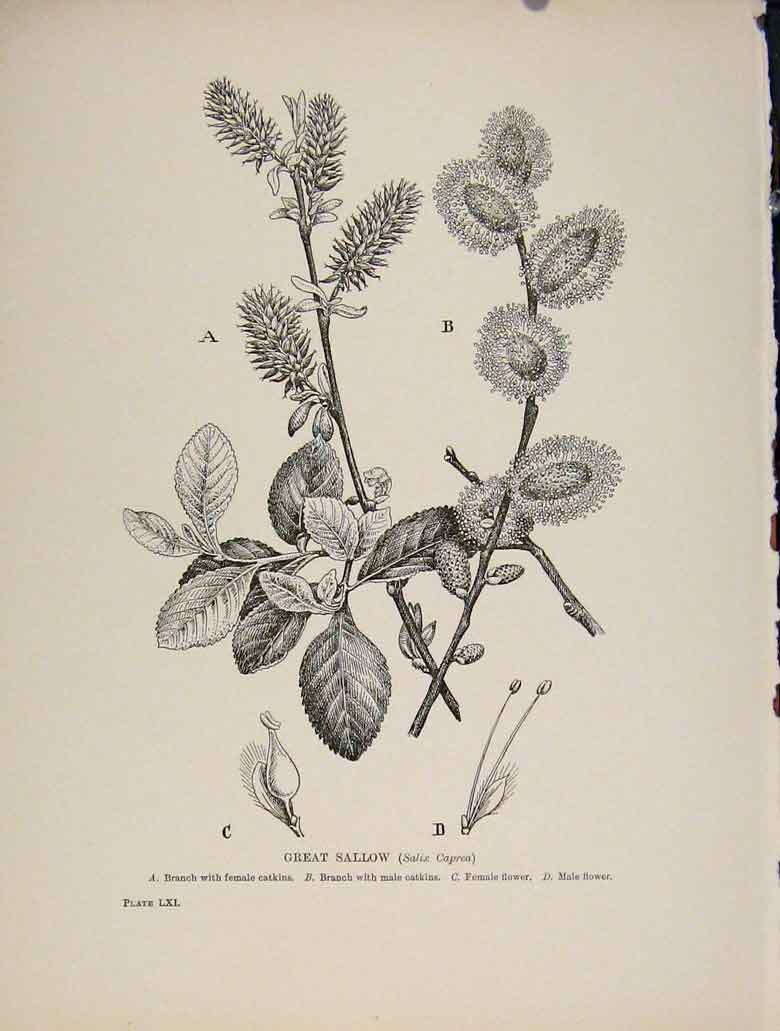 Print C1909 Trees And Shrubs Great Sallow Plant 288571 Old Original