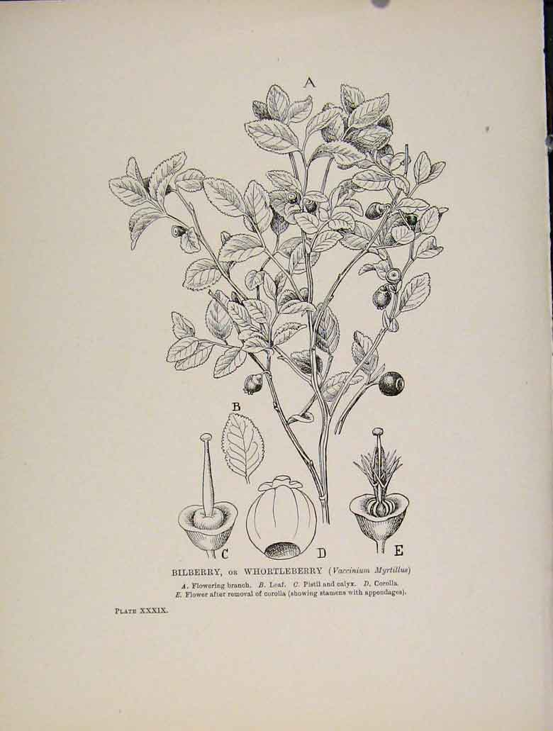 Print Bilberry Whortleberry Trees And Shrubs Flower 508571 Old Original