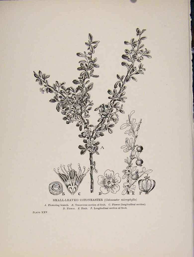 Print Trees And Shrubs Small Leaved Cotoneaster 648571 Old Original