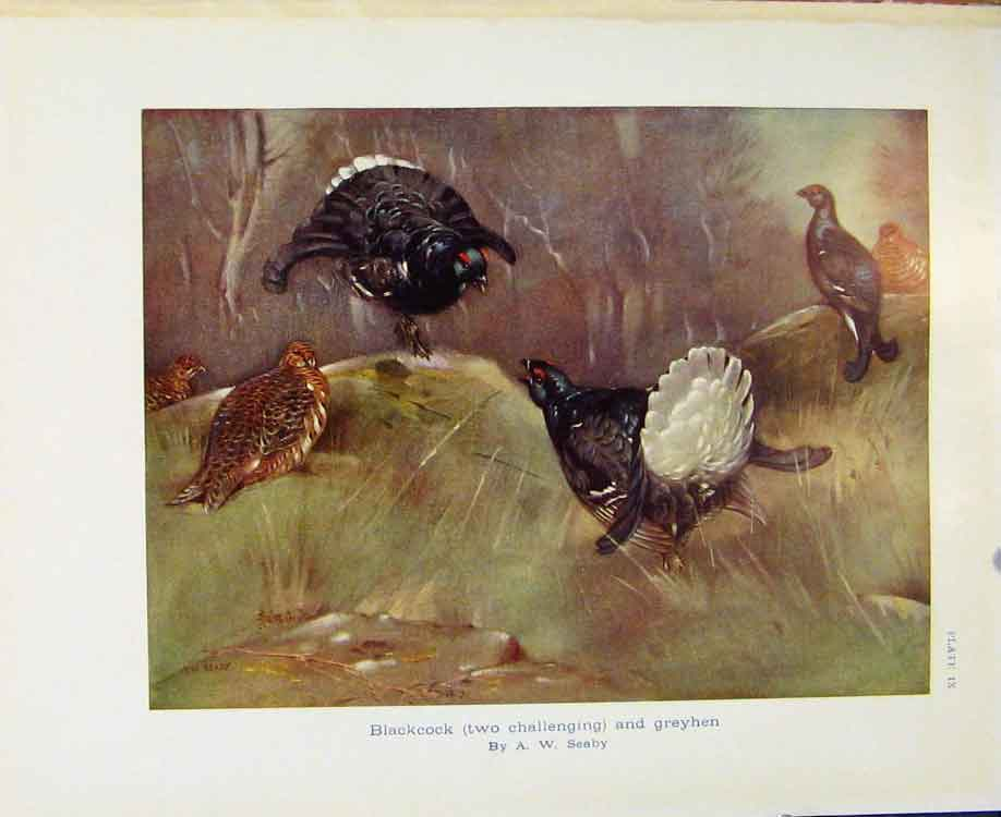 Print Sporting Birds Blackcock Challenging And Grey Hen Seaby 068581 Old Original