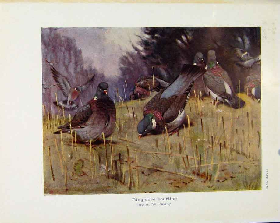 Print Sporting Birds Ring Dove Courting By Seaby 228581 Old Original
