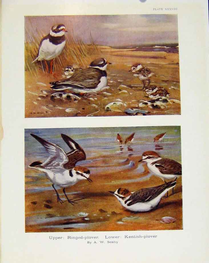 Print Sporting Birds Ringed Plover Kentish Plover By Seaby 278581 Old Original