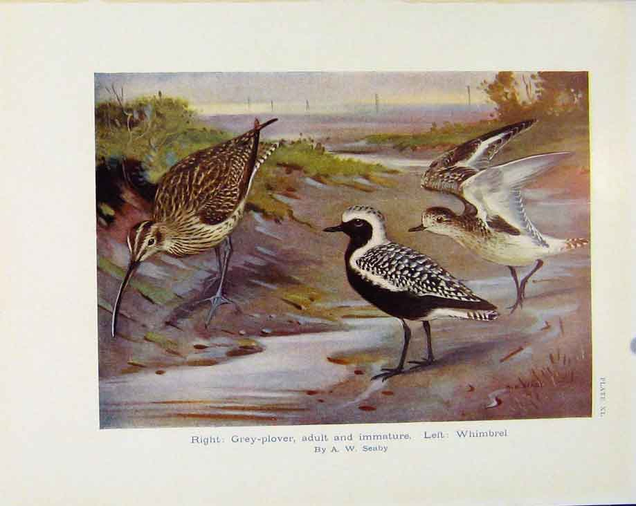 Print Sporting Birds Grey Plover Whimbrel By Seaby Birds Prin 298581 Old Original