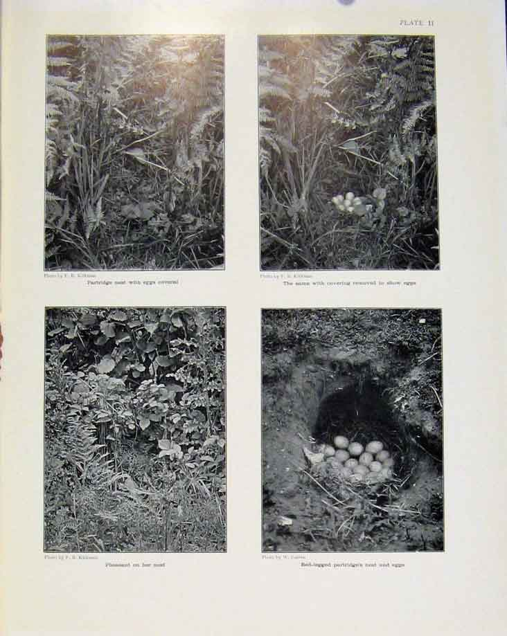 Print Sporting Birds Partride Nest Eggs Pheasant Nest Photo 328581 Old Original