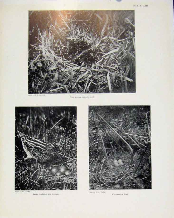Print Sporting Birds Four Young Snipe In Nest Woodcock Photo 358581 Old Original