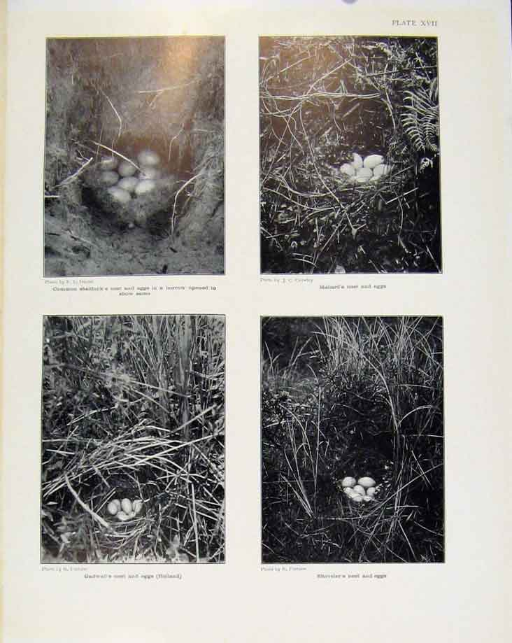 Print Sporting Birds Common Shelducks Nest Mallard Nest Photo 368581 Old Original