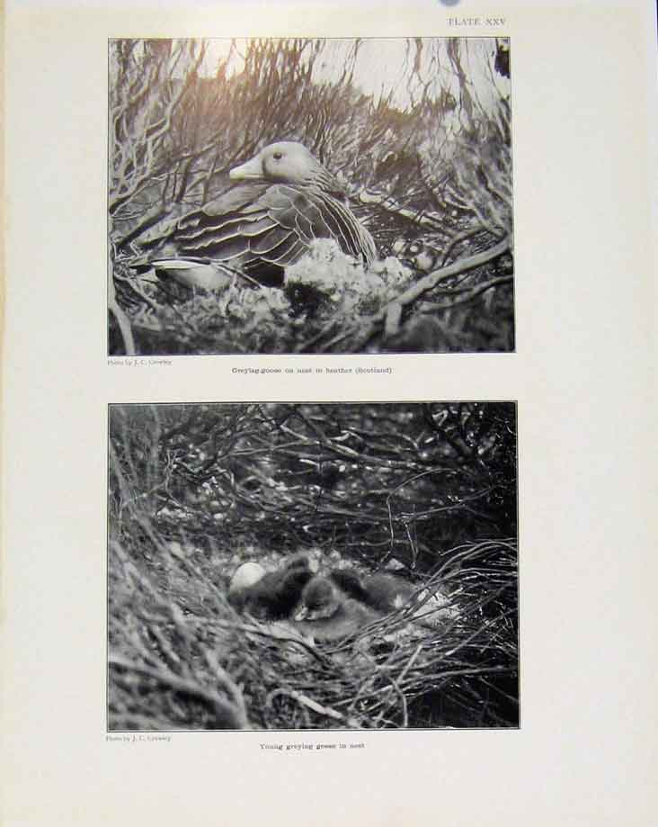 Print Sporting Birds Greylag Goose Young In Nest Photo 398581 Old Original