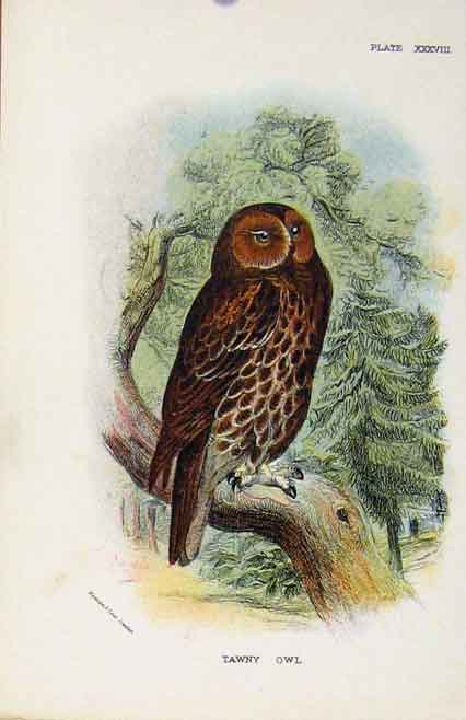 Print Lloyds Natural History Birds Tawny Owl By Sharpe C1896 088611 Old Original