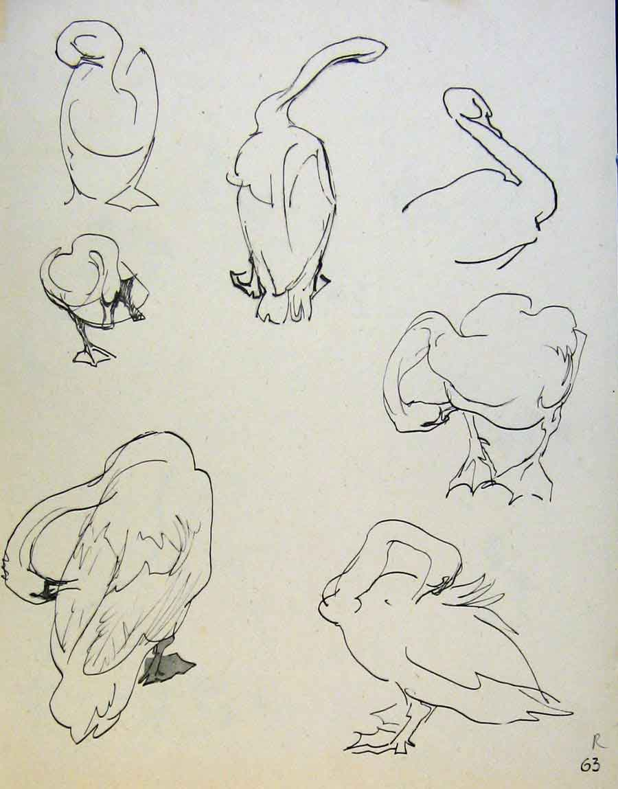 Print Swan And Chicks By J Dowd & B Spender Pen Drawing 63R8651 Old Original