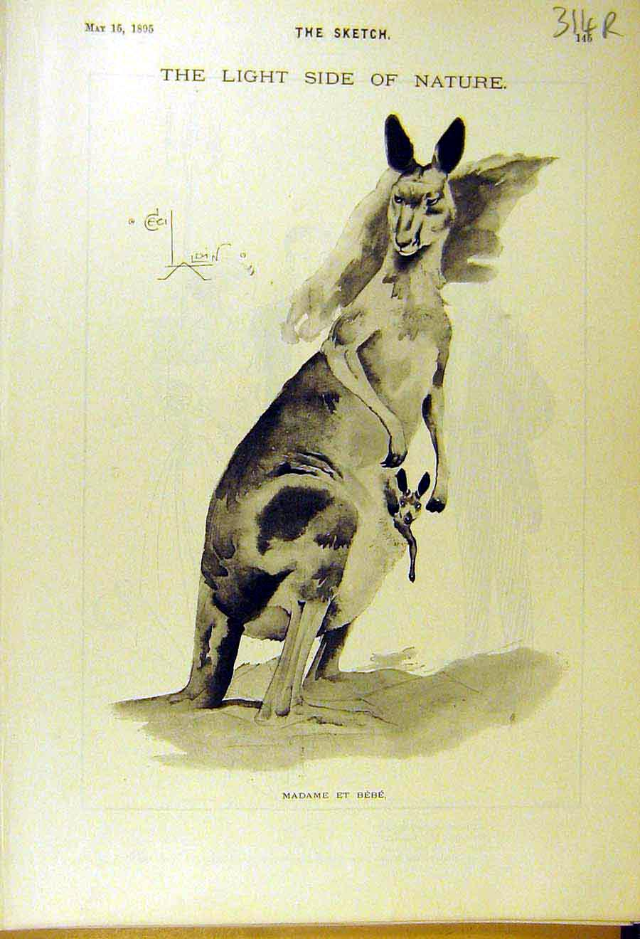 Print 1895 Kangaroo-Joey Sketch Animal Goodwin Comedy Major 14R8661 Old Original